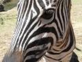 Merlot the zebra
